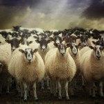 pecore animali puri secondo ebraismo