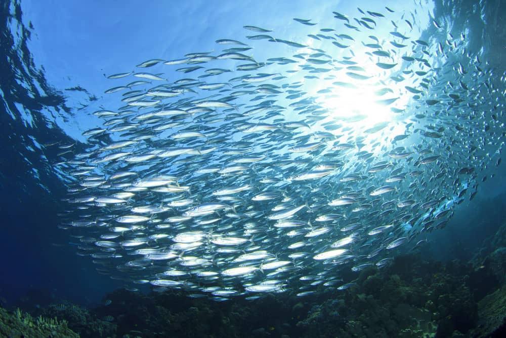 sardine animali puri secondo ebraismo