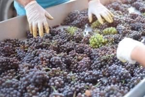 produzione vino kosher
