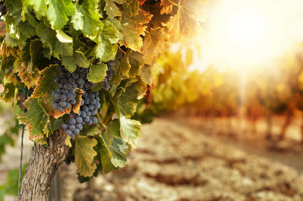 produzione vino kosher bellacarne